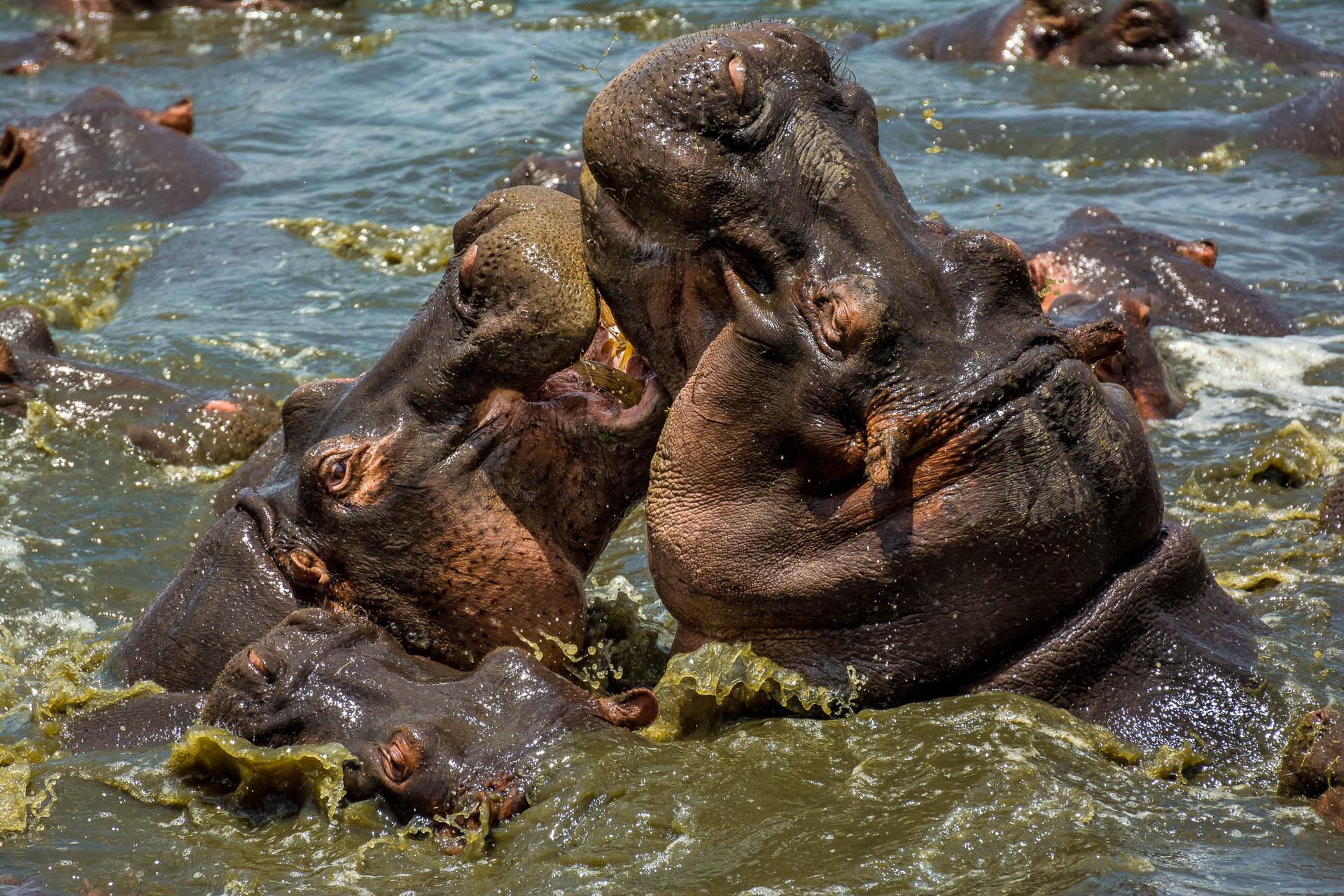 Hippos, Serengeti, Tanzania