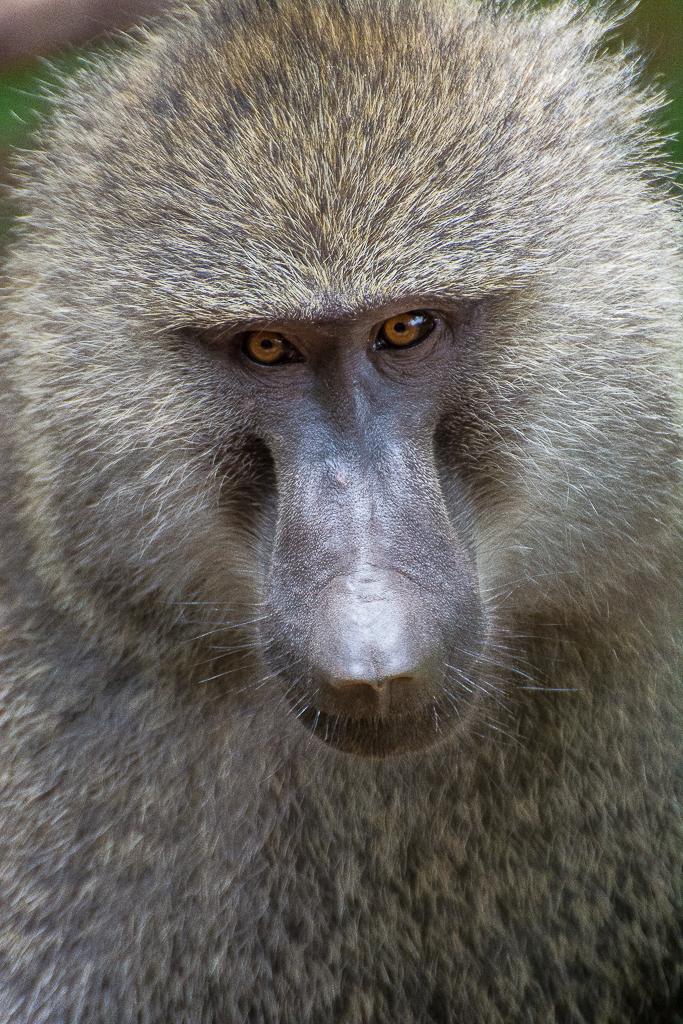 Baboon, Tanzania