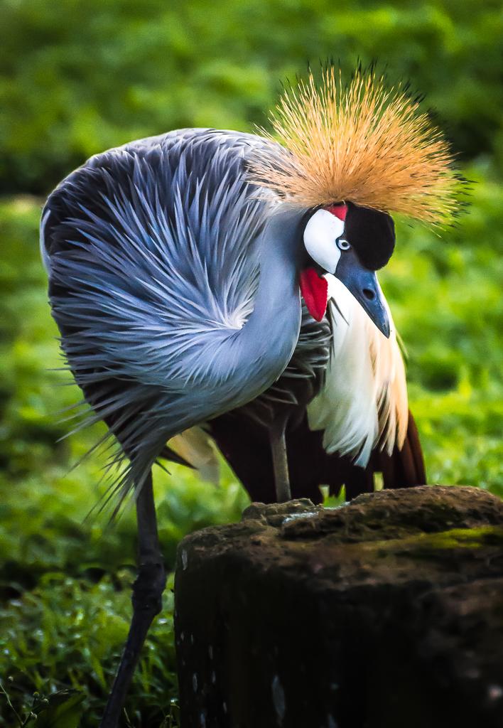 Crested Crane, Uganda