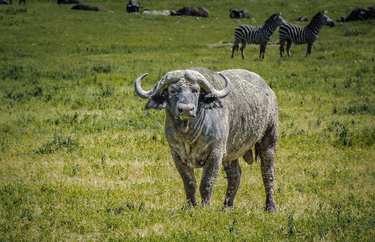 Cape Buffalo, Serengeti, Tanzania