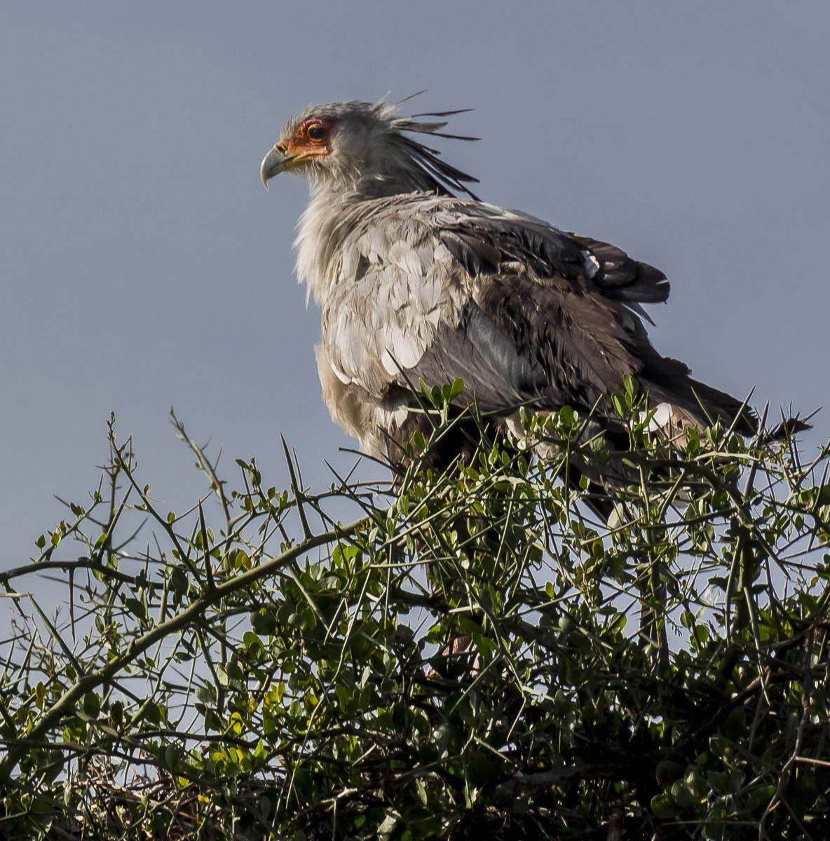 Fish Eagle, Tanzania