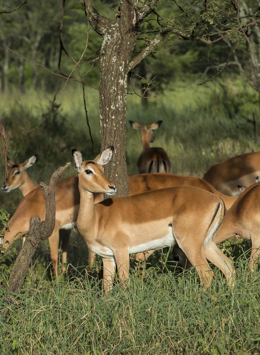 Impalas, Lake Manyara, Tanzania